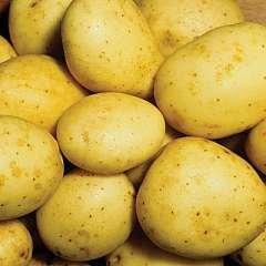 Image of Seed Potato Maris Piper 1Kg.