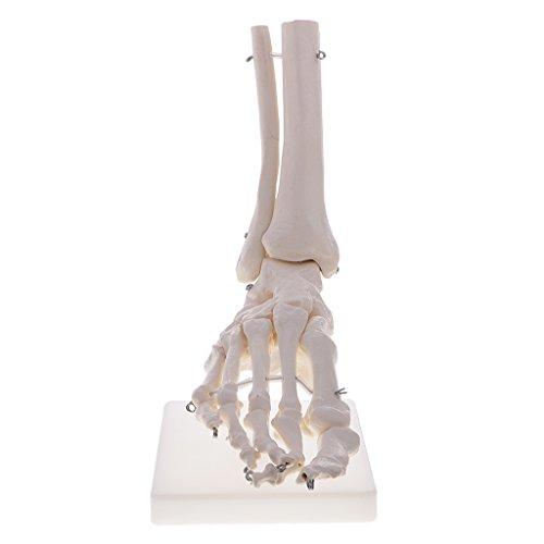 MagiDeal 1: 1 Lebensgroße Menschliches Fuß Knöchel Skelett Modell für Schule Ausbildung