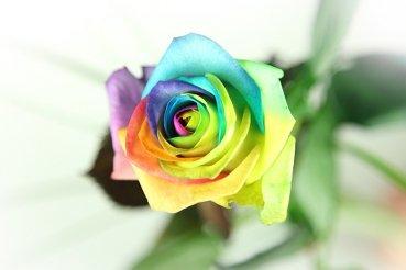 Regenbogen Rose - Basic - Bunte Rose von Blumenversand Rosenbote bei Du und dein Garten