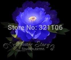20 Graines Bleu Pivoine Fleur Rare Paeonia Potted jardin des plantes, nouvelle récolte véritables graines,