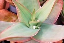 ALOE STRIATA corail jardin exotique plante succulente désert de cactus rares graines 50 graines