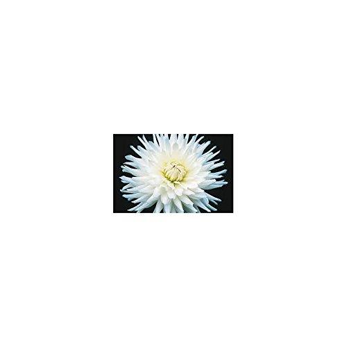 bulbe-dahlia-cactus-my-love-x1