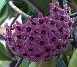 Hoya carnosa Sky Blue - Porzellanblume - Wachsblume - 10 Samen