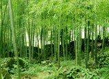 Phyllostachys edulis -Moso Bambus- 30 Samen Frostharter/Winterharter (-20C°) Riesenbambus