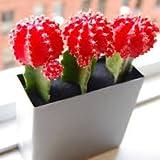 #8: Puspita Nursery PN_05 Moon Cactus Pink Color Indoor Plant (Pot Included)