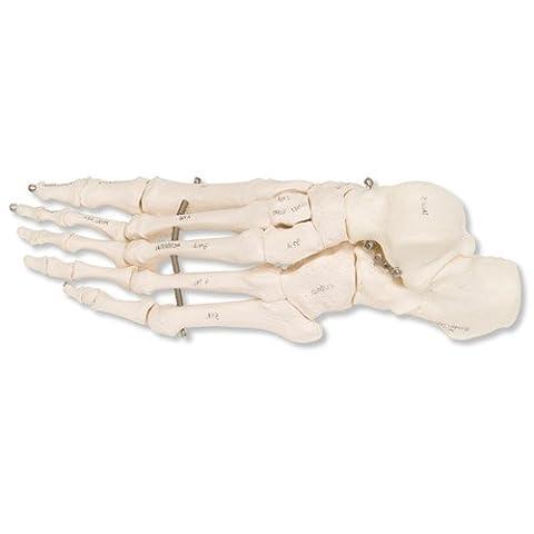 3B Scientific A30L Squelette du Pied sur Fil de Fer, Gauche