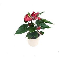 EVRGREEN | Zimmerpflanze Anthurie in Hydrokultur mit cremefarbenem Topf als Set | Flamingoblume | Anthurium andreanum Arion rot