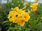 Pinkdose® Pinkdose Swarnapatti Gelbe Blume Creeper Blume Pflanzensamen Für Vorgarten Blühende Pflanzensamen Garten Pack Von