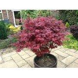 japanese-purple-maple-tree-acer-palmatum-atropurpureum-plant-15-20cm-tall-in-a-9cm-pot
