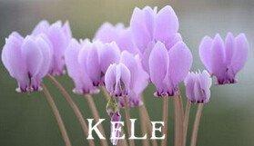 Perdita di promozione !!! 100 PCS 16 colori ciclamino semi di fiore perenni piante da fiore Cyclamen Semi