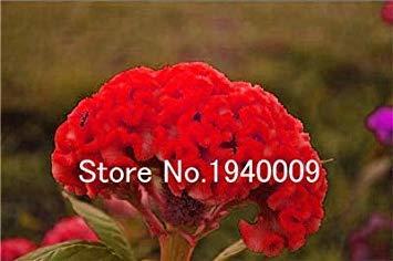. Bonsai 200 Stück Hahnenkamm Blume Flores (Celosia) -Mix Farbe, DIY Hausgarten-Blumen-Plantas Seedsplants, Blumen Staudengarten: 9 -