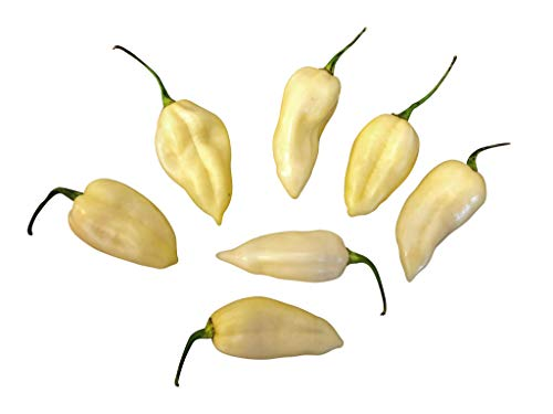 Fatalii White/Weiß 10 Samen (Extra scharfe weiße Chili) ***RARITÄT*** >>>Der Blickfang im Garten<<<