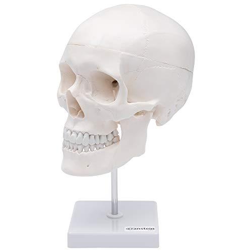 Zoom IMG-2 cranstein e 246 cranio umano