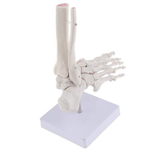 SM SunniMix Fußmodell Morphologie und Konstruktion der Knochen Lernen Pädagogisches Fußskelettmodell