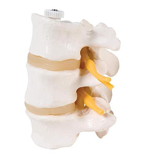 3B Scientific menschliche Anatomie - 3 Lendenwirbel, Elastisch Montiert - 3B Smart Anatomy