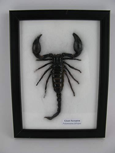 asiahouse24 Giant Scorpion - Palamnaeus fulvipes - Echter riesiger exotischer Skorpion im Schaukasten, Bilderrahmen aus Holz - gerahmt - Taxydermi Neu - Abbildung sehr ähnlich