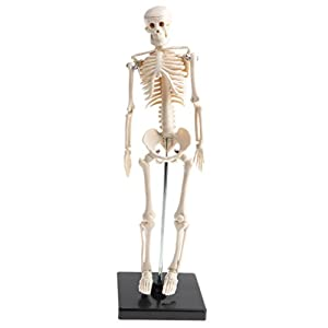42cm Highly Detailed Human Body Body Skeleton Model School Teaching Aids