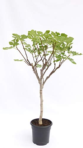 kompakter Feigenbaum 120 cm Obstbaum, winterhart, Ficus Carica, Feige