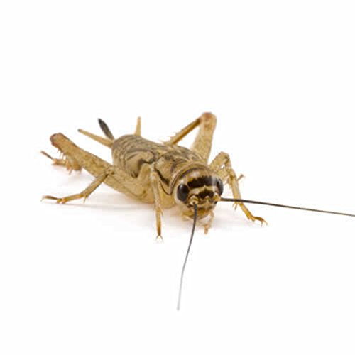 small-silent-brown-crickets-4-5mm-pre-pack-aprox-250-per-tub