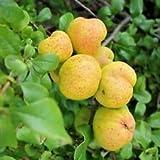 Fioritura di mele cotogne, Cydonia oblonga pomacee dal sapore leggermente acidulo 25 semi