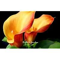 100pcs multi-colores de la cala Semillas de plantas resistentes semillas de flores exóticas Semillas ornamentales Flores Bonsai 09