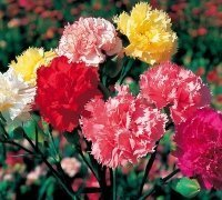 just-seed-flower-carnation-superb-formula-series-mixed-300-seeds