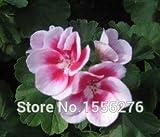 Go Garden 20PCS 100% reales Geranium Pelargonium Blume semillas: Gelb