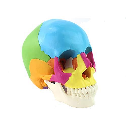 WHYIT Modelo de Calavera extraíble (Modelo de Color) Material de PVC ecológico, Hecho a Mano Tamaño del Producto 19,5 cm * 17 cm * 21,5 cm Peso 1 kg Modelo del Cuerpo Humano