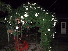 Moonflower Vine (vegherb Moonflower Vine Seeds! Riesige Duft Weiße Blumen! Kombinierte S/H!)