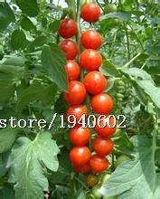 Big vente fruits d'ornement graines de légumes tomate, tomate graines chaîne, petites tomates rouges, environ 100 particules