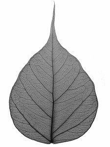 skeleton-bodhi-leaves-approx-6-8cmcm-black-x-25-leaves