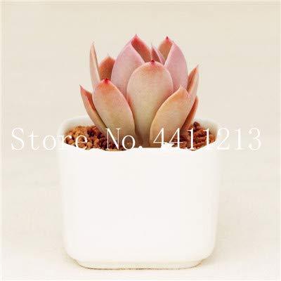 Bloom Green Co. 50 pcs Mini Succulentes Bonsai Raw Stone Flower Différentes espèces Cacti Mix Cactus plante exotique Cactaceae Cacti plus mysteriou: 12