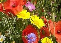 UK wildflower MeadowMania seed mix 100 grams