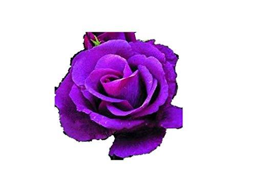 KINGDUO 100 Pcs Rose Rares Graines Mélangées Couleur Maison Jardin en Pot De Fleurs Graines Décoration Bonsai-4