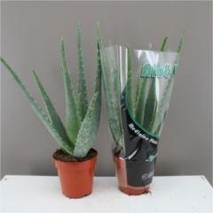 fantastic-delightful-aloe-vera-plant-excellent-healing-benefit-aloe-vera-gel-next-day-delivery-optio