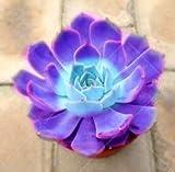AGROBITS suculentas 100pcs bonsai color de la mezcla en macetas plantas suculentas Perenne Planta de interior flor de cactus piedra ornamental para el jardín de: 9
