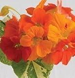 David's Garden Seeds Flower Nasturtium A...