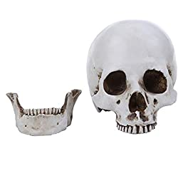 XJYA Cráneo Humano Didáctica Modelo Anatómico Educativo
