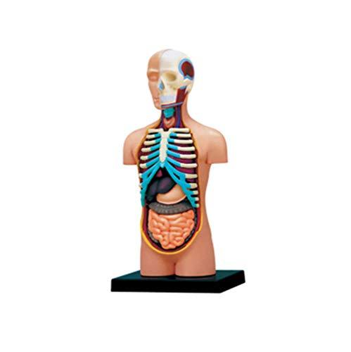 Anatomisches Modell des inneren Organs des menschlichen Körpers, Puzzlespielspielzeug Die perfekte Mischung aus Wissenschaft und Spielzeug Abnehmbares 32-teiliges Biologie-Lehrmodell