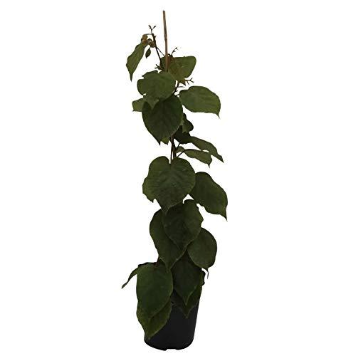 Jenny, Kiwi Pflanze im 3 Liter Topf, selbstfruchtend, ca. 60-100 cm, gestäbt