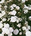 BALDUR-Garten Rosen 'Sea Foam', 1 Pflanze Bodendeckerrose von Baldur-Garten auf Du und dein Garten