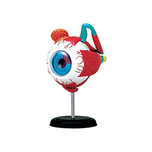 Anatomisches Modellauge, Modell des menschlichen Auges für das medizinische Unterrichtsmodell, anatomisches Modell des menschlichen Auges, Unterrichtshilfe für den naturwissenschaftlichen Unterricht
