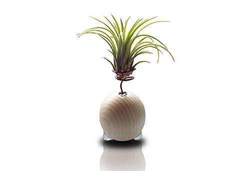 Tillandsia Ionantha Rubra Sur Décoration De Boule De Bois Pot De Fleur Ronde Naturelle Ø 6 cm - Jardin Zen Miniature - Sphère En Bois Décoration - Plante Relaxante