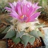 Ariocarpus retusus v confusus Esotico Fioritura Rare Cactus Cactus Seed 50 Semi