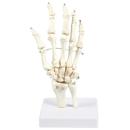 and Skelett Model Zeige Handknochen Anatomie Lebensgroßes Umweltfreundliches PVC-Material Mit Einer Basis ()
