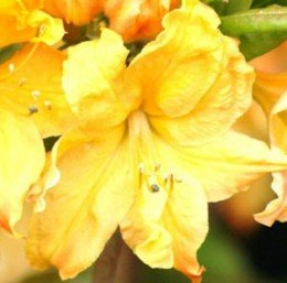 azalee-golden-lights-40-50cm-rhododendron-luteum-alpenrose