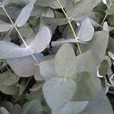 PLAT FIRM PLAT cinerea firma de SEMILLAS Eucalyptus (dólar de plata Gum) - 20 semillas