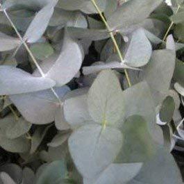 Potseed Eucalyptus cinerea (Silver Dollar Gum) - 20 Samen