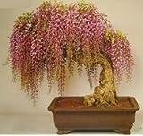 Semi di glicine 10 semi / pack mini bonsai semi di albero di glicine raro oro piante ornamentali da interno