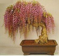 semi-di-glicine-10-semi-pack-mini-bonsai-semi-di-albero-di-glicine-raro-oro-piante-ornamentali-da-in